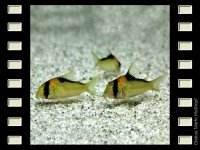 Corydoras adolfoi 4cm