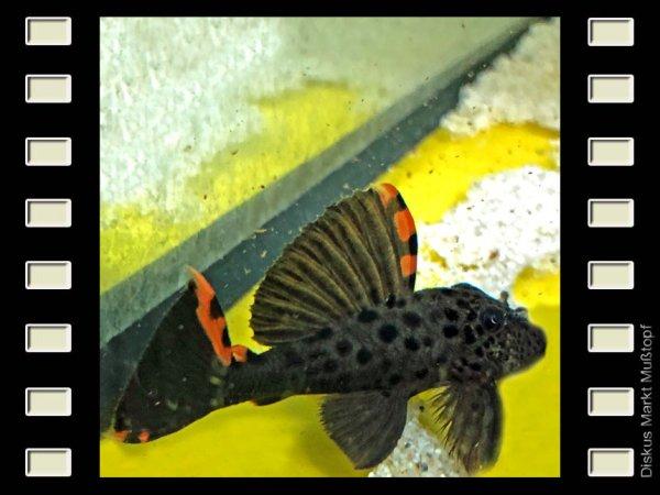 L 91 Leporacanthicus triactis 7-8cm