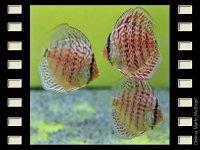 Mosaic Red 7-8cm
