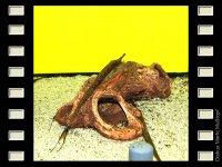 Nadelwels 12-15cm