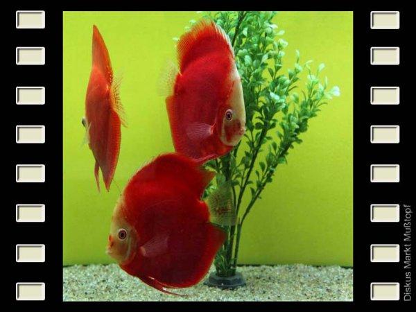 Red Valentine 13cm