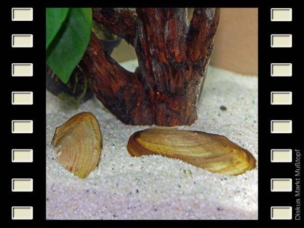 Tropische Süßwassermuschel ca. 8cm