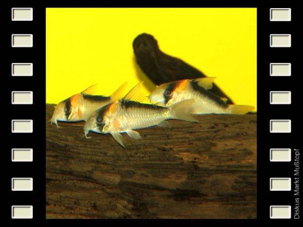 Corydoras duplicareus 4-5cm