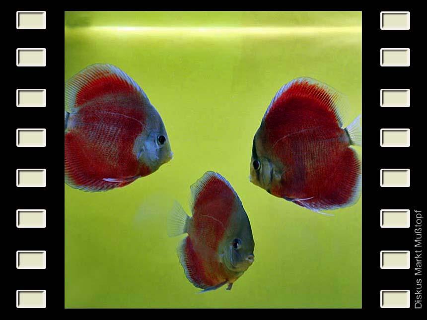 San Merah 10cm