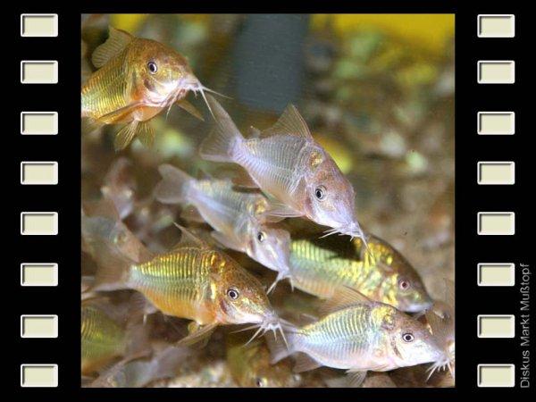 Brochis splendens 3-4cm