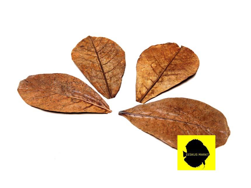 Seemandelbaumblätter 15-20cm  10 Stück