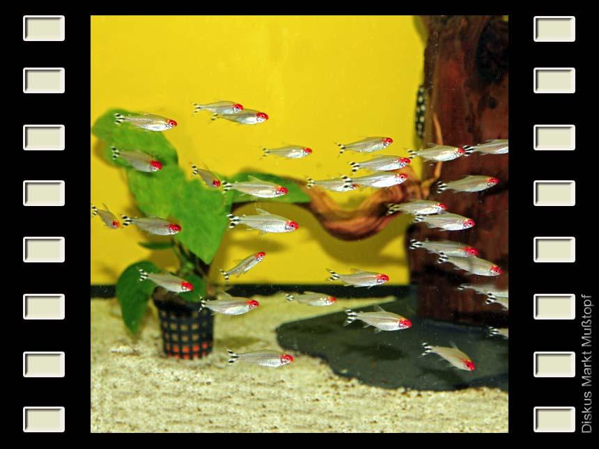 Rotkopfsalmler 3-4cm