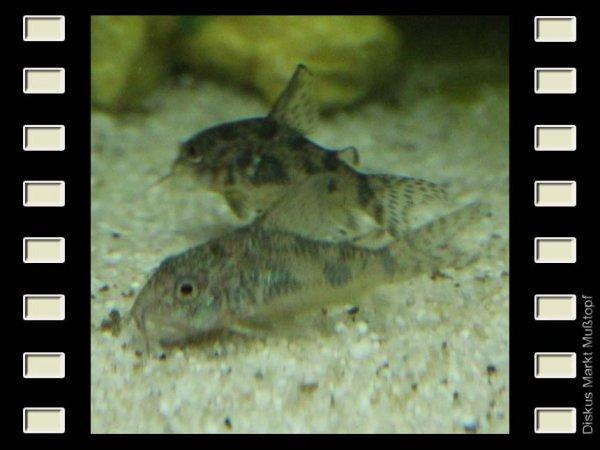Corydoras paleatus 3cm