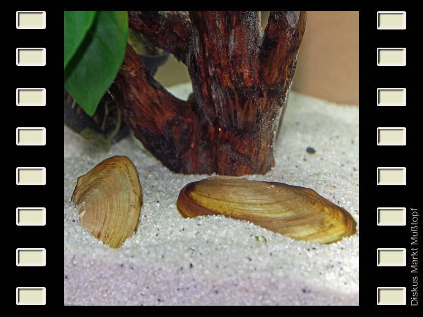 Tropische Süßwassermuschel