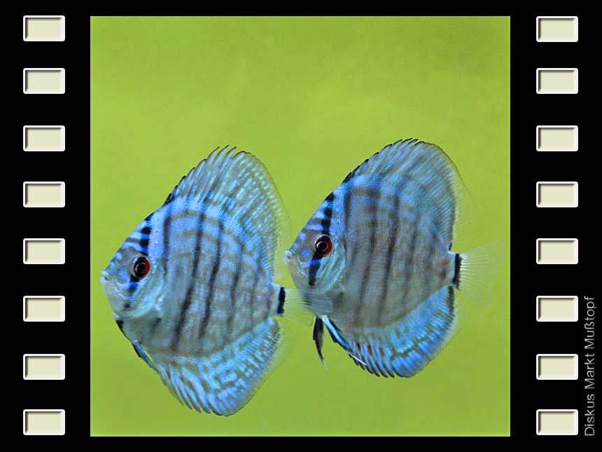 Blue Knight 7-8cm