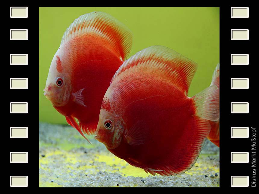 Red Valentine 12-13cm