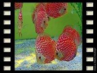 Red Dragon 10cm