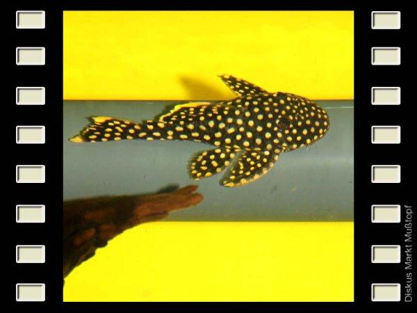 L 177 Iriri-Orangesaumwels 9-10cm
