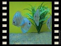Blue Angel 7-8cm