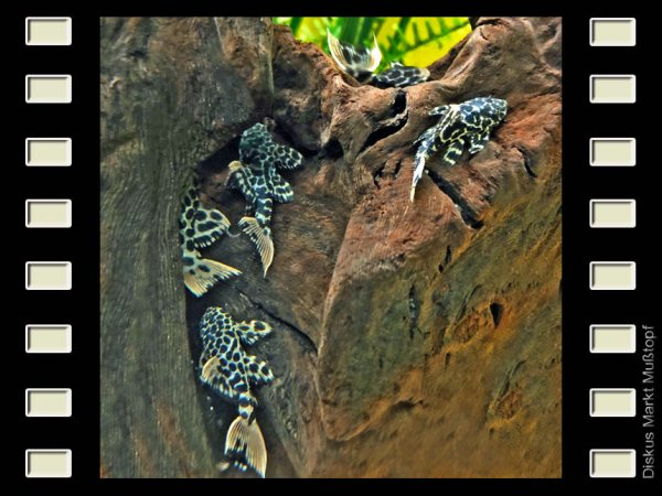 L114 Leopard-Kaktuswels 6-8cm