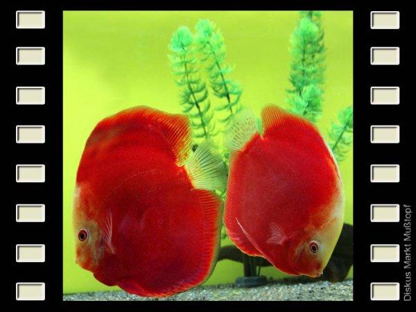 Red Valentine 15cm